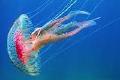 Un grupo de científicos ha localizado por primera vez en el Mediterráneo una especie de medusa 'inmortal' procedente de Japón.
